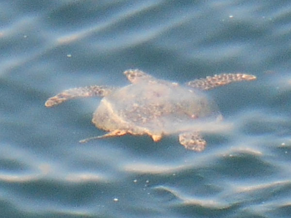 入港時に見た海亀