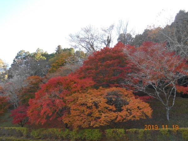 おばらふれあい公園駐車場の紅葉と桜