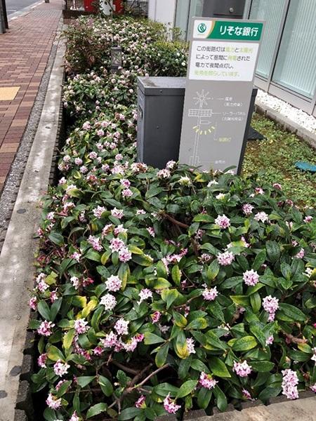 2月26日 沈丁花 いい香りがして思わず下を見たら咲いてました