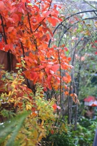 ジューンベリーの紅葉