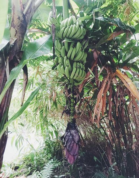 中庭に立派なバナナの木。