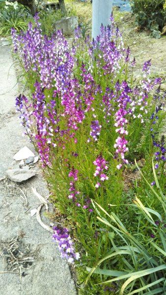 画像はピンクと紫の可愛い花