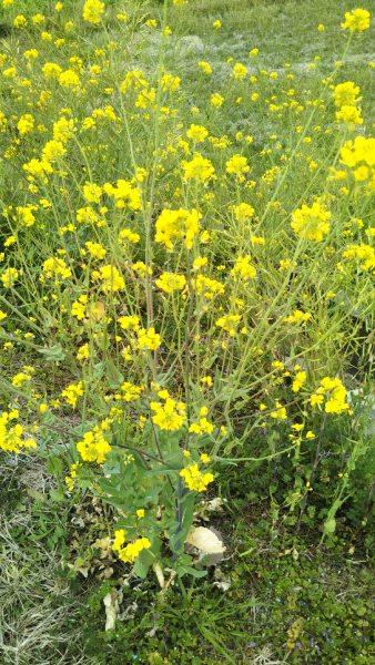 菜の花、水仙