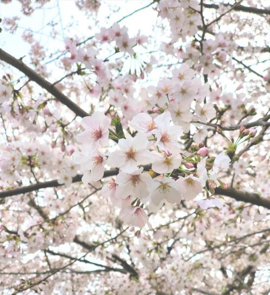 上野恩賜公園の桜2020