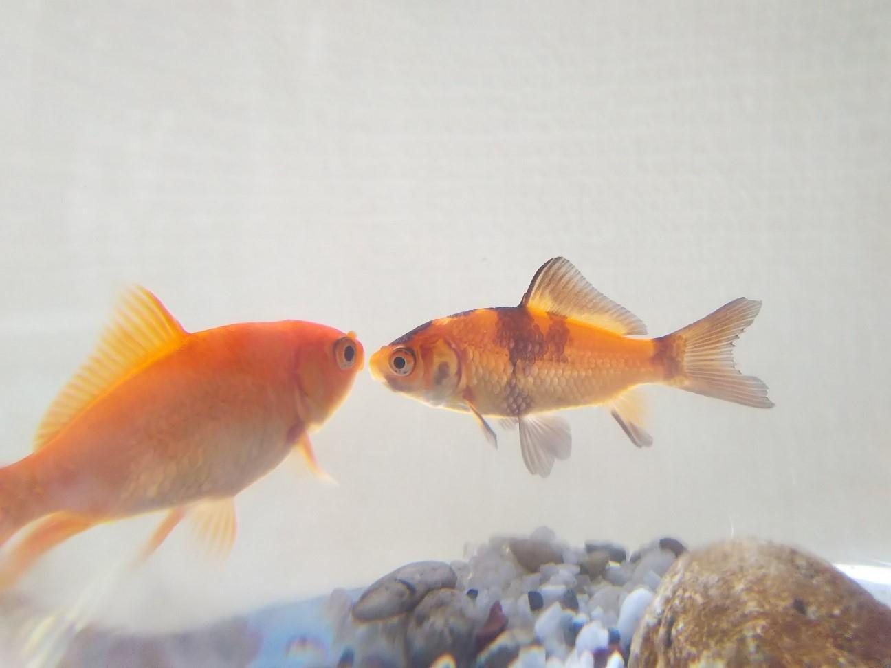 仲良くしている二匹の金魚