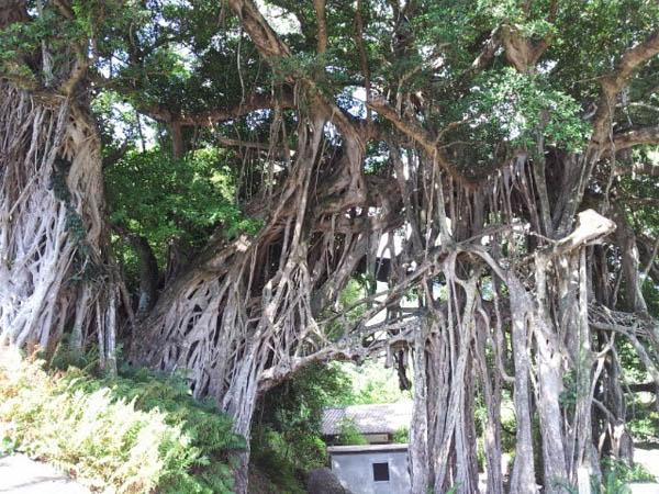 がじゅまるの木。