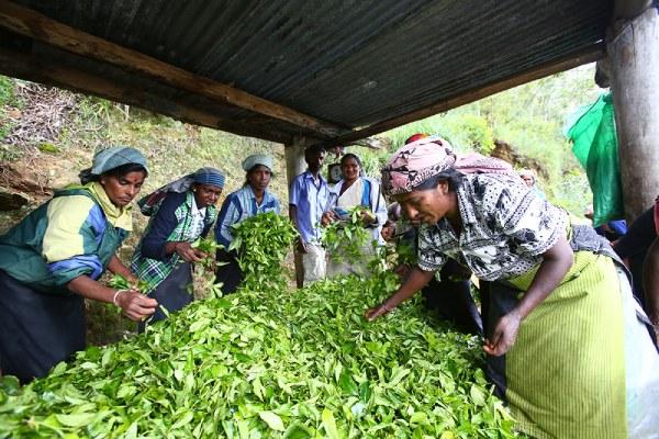 茶葉も鮮度が命、加工場へといち早く送られます。