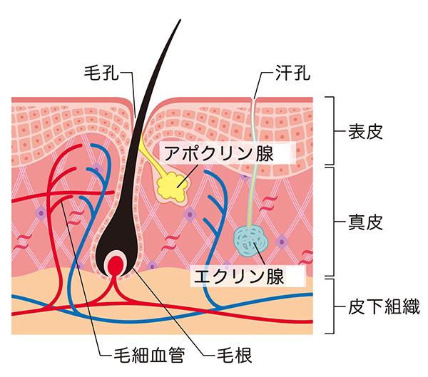 汗腺のイメージ