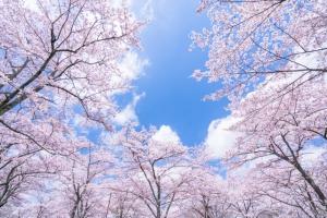 日本の代表的な桜の種類は?