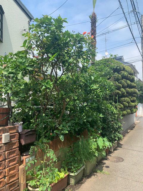 シチリアレモンの木