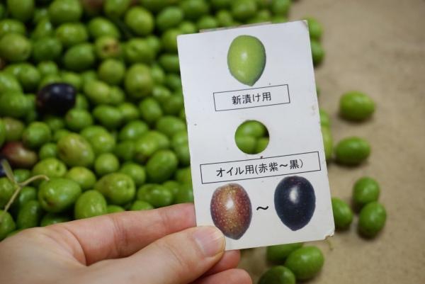オリーブを選ぶ基準の用紙