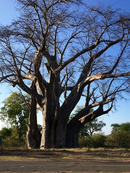 チョベ国立公園の近くで見たバオバブの木。樹齢1800年、高さ23m、幹回り16m