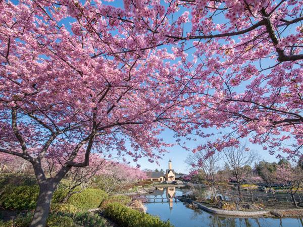 池の周辺に植えられた河津桜