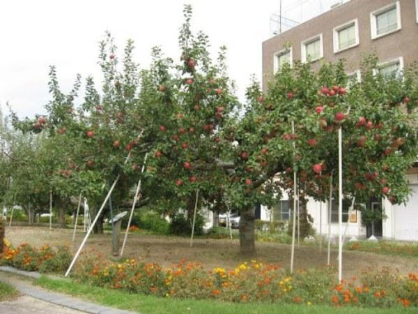 """""""リンゴ並木""""。台風19号前です。"""
