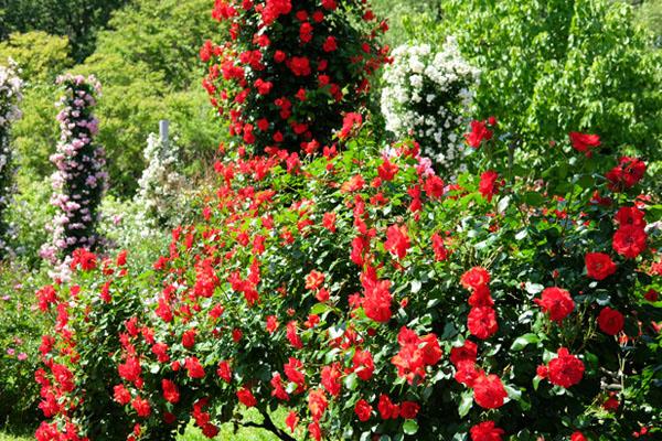 バラの品種「ラ セビリアーナ」