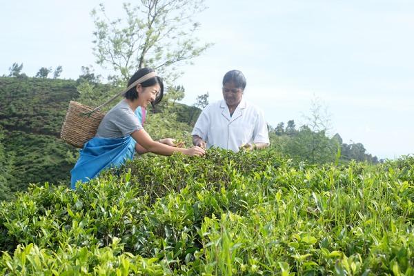 スリランカでは、茶摘みにも挑戦できる