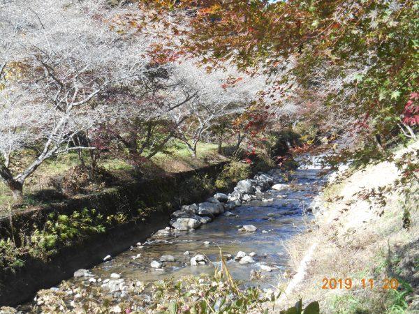 柿ケ入遊歩道 川沿いの紅葉と四季桜