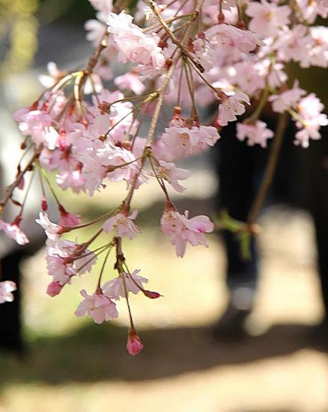 原谷苑の桜