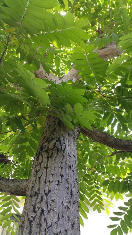 今年もまた見事に茂った庭の胡桃の木