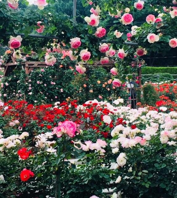薔薇まつり