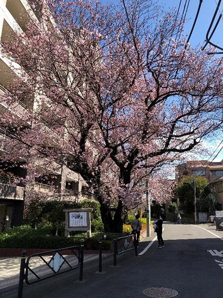 2月23日 大寒桜 平年より1か月以上早い