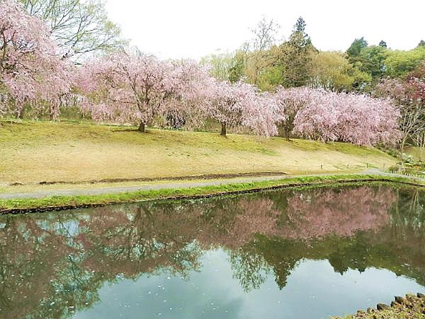 DIC川村記念美術館の桜