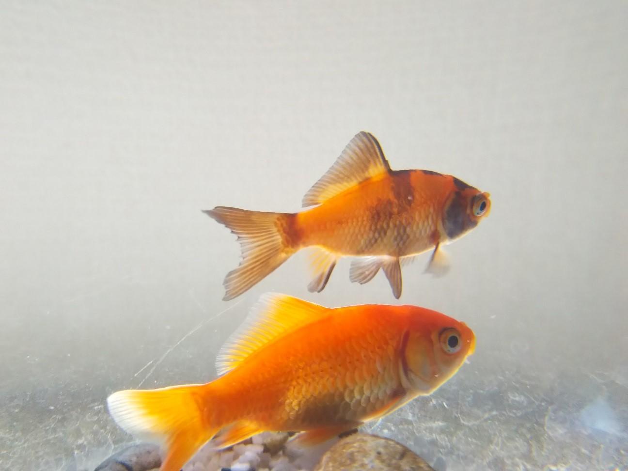 寄り添う金魚