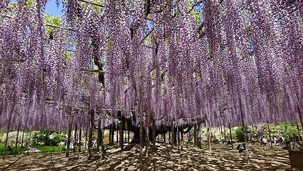 樹齢150年の大藤棚はなんと600畳分、花は10万房もあります!