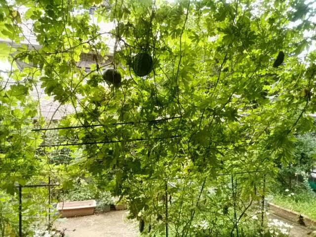 庭で栽培しているゴーヤガーデン
