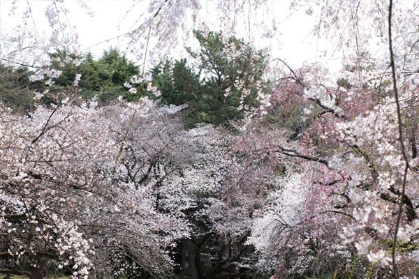 千駄ヶ谷門近くの〈桜園地〉