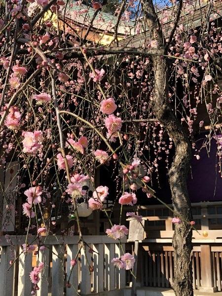 布田天神 しだれ梅 節分会の時画像です。
