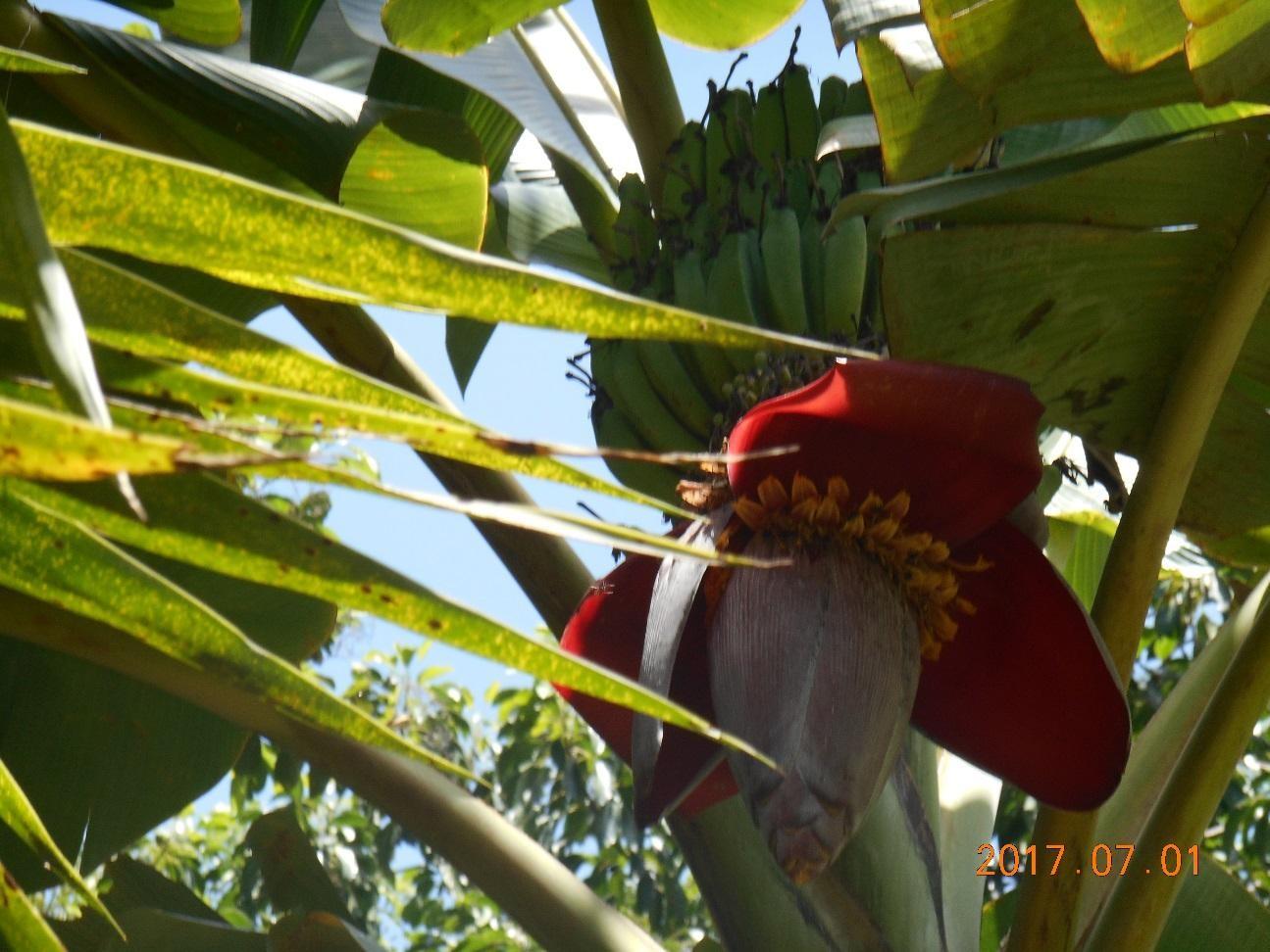エクアドルのバナナとバナナの花