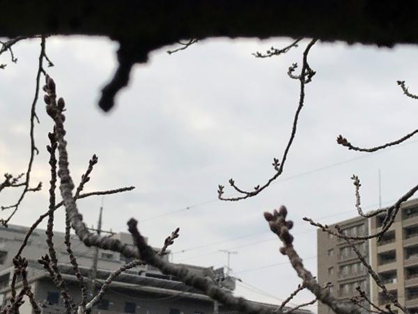 2月29日 桜のつぼみ 今年はライトアップが早くなるでしょうか?