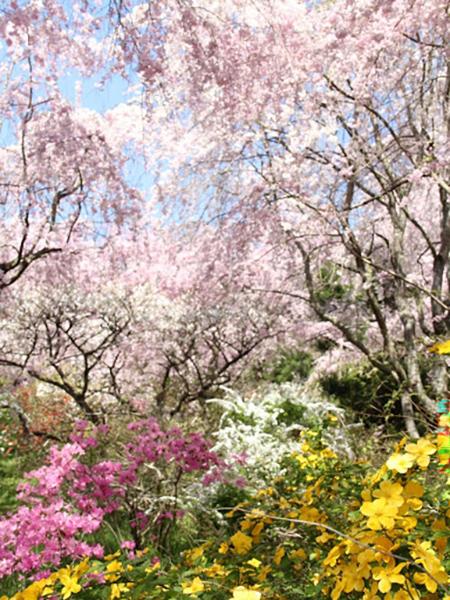 枝垂れ桜のシャワー 京都・原谷苑
