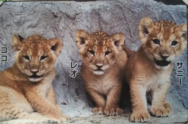 熊本動物園のトラの子供たち、もう直ぐ他県に引っ越し