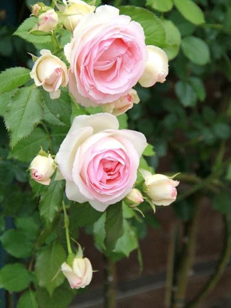 『ピエール・ドゥ・ロンサール』……最初に植えたバラです