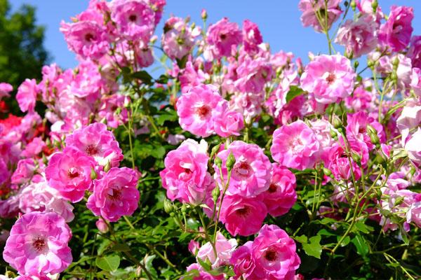 バラの品種「ブリリアント ピンク アイスバーグ」