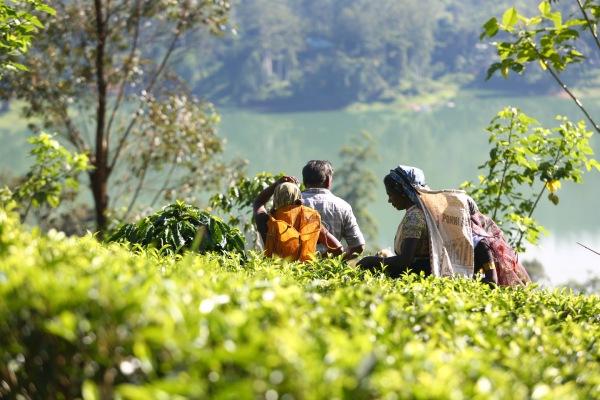 茶摘みのベテランは、1日に15kgから20kg摘みます。